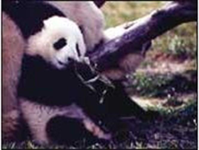 Asya'nın en sevimli hayvanı panda